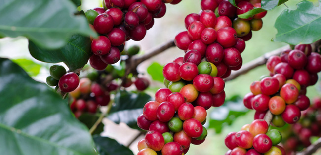sustainable-coffee-beans