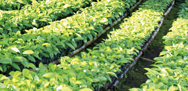 sustainable-coffee-plantlets